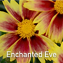 Coreopsis Enchanted Eve - Tickseed