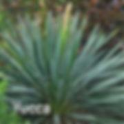 Yucca Excalibur- Adam's Needle.