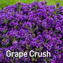 Aster Grape Crush - Michaelmas Daisy.jpe