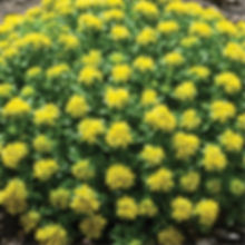 Sedum Little Miss Sunshine - Stonecrop.j