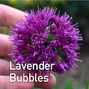 Allium Lavender Bubbles - Ornamental Oni