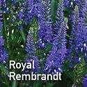 Veronica Royal Rembrandt - Speedwell
