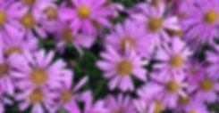 Aster Woods Pink - Michaelmas Daisy