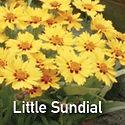 Coreopsis Little Sundial