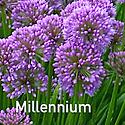 Allium Millennium - Ornamental Onion