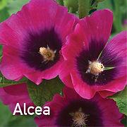 Alcea Halo Cherise - Hollyhock