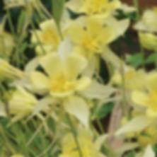 Aquilegia Songbird Goldfinch - Columbine