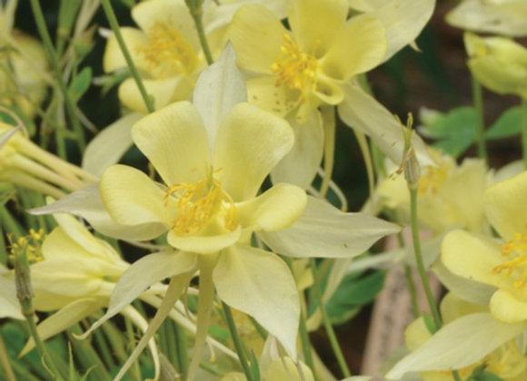 Aquilegia caerulea 'Songbird Goldfinch'