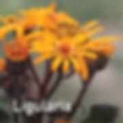 Ligularia Midnight Lady - Leopard Plant