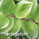 Variegated Solomons Seal