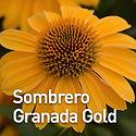 Echinacea Sombrero Granada Gold - Conefl