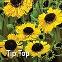 Helenium Tip Top - Sneezeweed