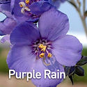 Polemonium y. Purple Rain - Jacob's Ladd
