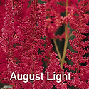 Astilbe August Light