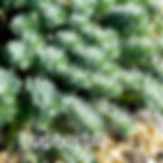 Euphorbia myrsinites - Donkey's Tail.