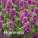 Stachys Hummelo - 2019 Perennial of the Year