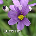 Sisyrinchium Lucerne - Blue-Eyed Grass.j