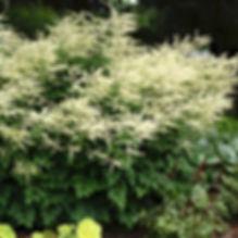 Aruncus Misty Lace - Goatsbeard