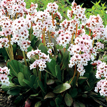 Bergenia Angel Kiss - Pigsqueak