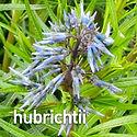 Amsonia hubrichtii - Arkansas Blue Star.
