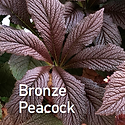 Rodgersia Bronze Peacock.