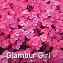Tall Phlox Glamour Girl