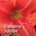 Hemerocallis Alabama Jubilee - Daylily