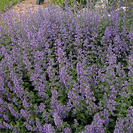 Nepeta f. Walker's Low - Catmint.jpg