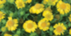 Gaillardia Mesa Yellow - Blanket Flower