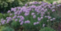 Allium - Ornamental Onion