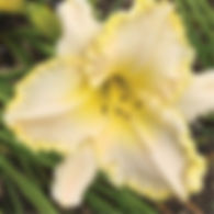 Hemerocallis Marque Moon - Daylily.jpg