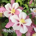 Aquilegia c. Songbird Robin - Columbine.
