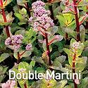 Sedum Double Martini - Stonecrop.jpeg