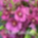 Verbascum Plum Smokey