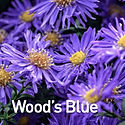 Aster Wood's Blue - Michaelmas Daisy.jpe