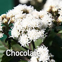 Eupatorium r. Chocolate - Mist Flower.jp