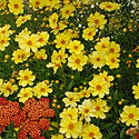 Coreopsis Big Bang Full Moon - Tickseed.