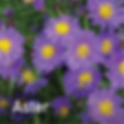 Aster Kickin Lilac Blue - Michaelmas Daisy