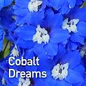 Delphinium Cobalt Dreams - Candle Larksp