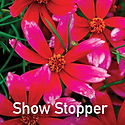 Coreopsis Show Stopper - Tickseed
