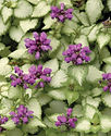 Lamium Purple Dragon - Nettle
