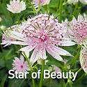 Astrantia Star of Beauty - Masterwort.jp