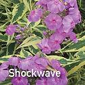 Phlox Shockwave