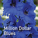 Delphinium Million Dollar Blue - Perennial Larkspur