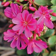 Lewisia Constat Fuchsia - Cliff Maids.jp