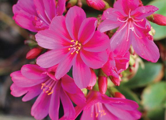 Lewisia 'Constant Fuchsia'