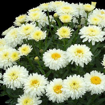 Leucanthemum Macaroon - Shasta Daisy