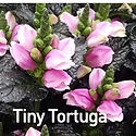 Chelone o. Tiny Tortuga - Turtlehead.jpe