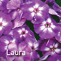 Tall Phlox Laura