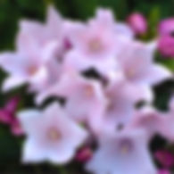 Platycodon Astra Pink - Balloon Flower.j